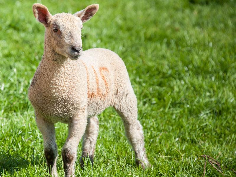 Spring Lamb at Beera Farm